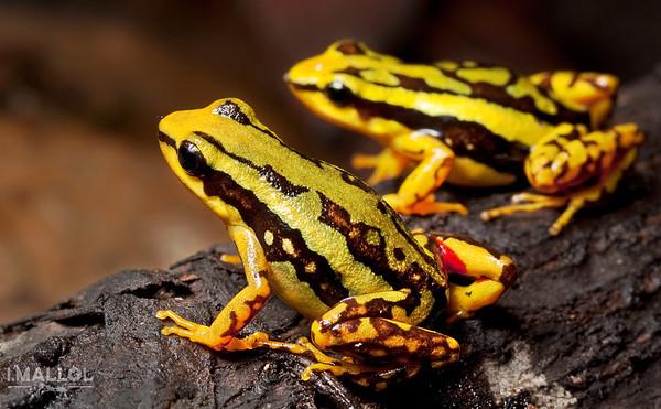 Epipedobates tricolor couple