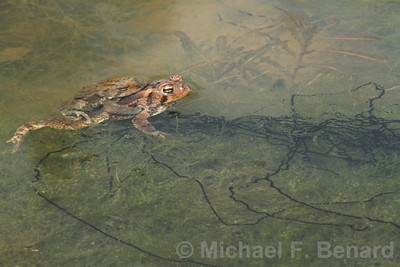 Mating American Toads with Eggs in a Pond