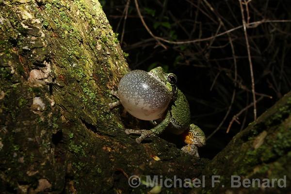 Gray Treefrog singing from tree