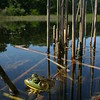 Male Bullfrog in a pond