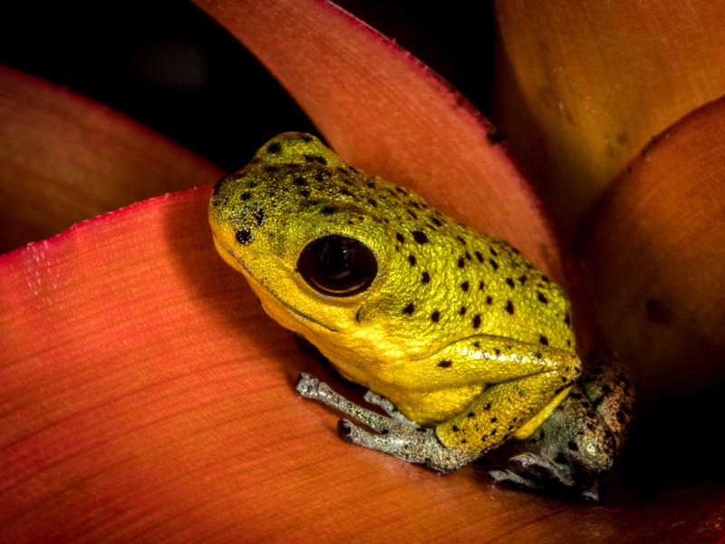 Yellow Rio Branco poison dart frog (Oophaga pumilio) captive