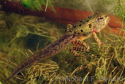Metamorphosing Leopard Frog