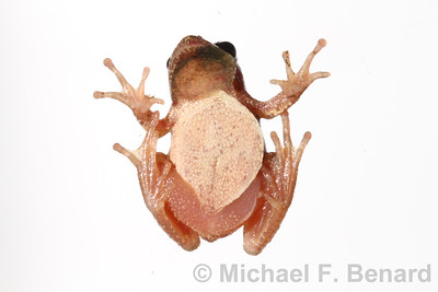 Identify sex of male spring peeper