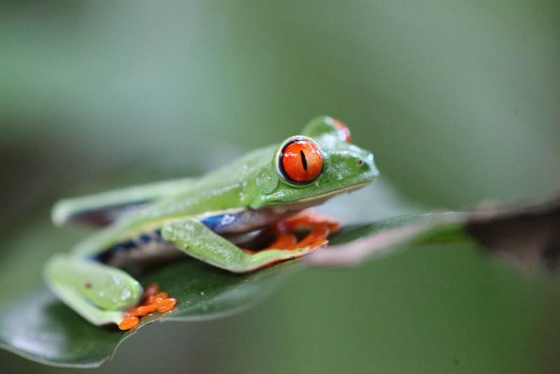 Gaudy Leaf Frog (Costa Rica)