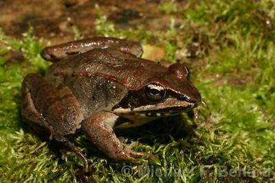 Wood Frog on moss