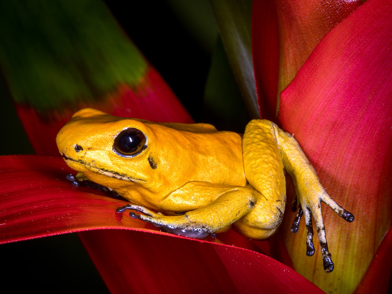 Golden poison dart frog (Phyllobates terribilis) captive