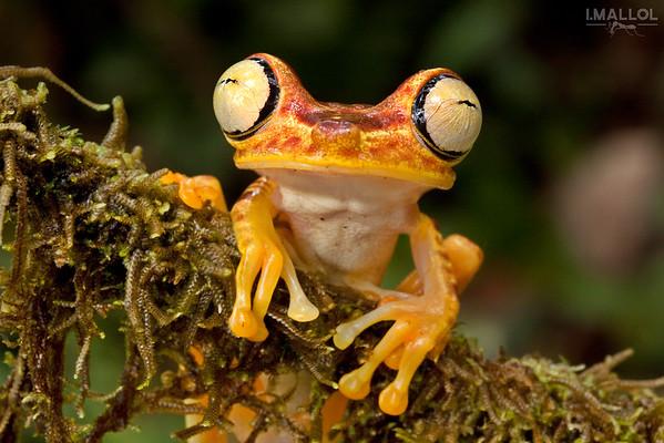 Photogenic frog (Hypsiboas picturatus)