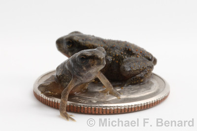 Two juvenile toads on a dime