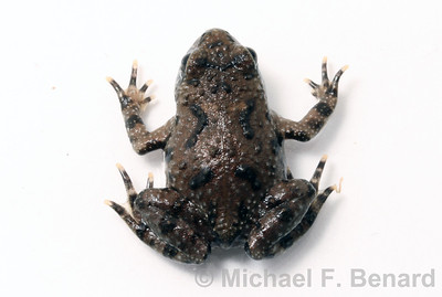 Recently metamorphosed Fire-Bellied Toad