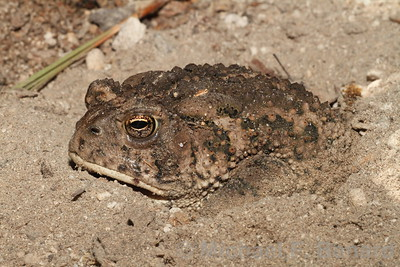Woodhouse's toad partially buried