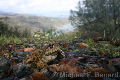 Western Toad above Lake Berryessa