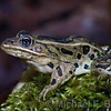 Leopard Frog sitting on grass