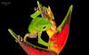 Tarsier leaf frog (Phyllomedusa tarsius)