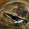 Pickerel Frog pokes head out of water