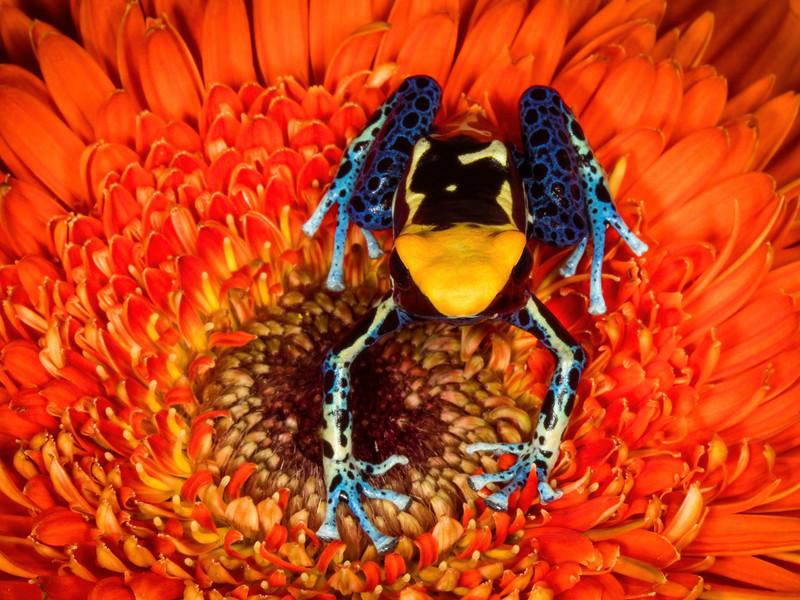 (Dendrobates tinctorius)  Dyeing poison dart frog, captive