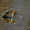 Mountain Garter Snake contemplates tadpole