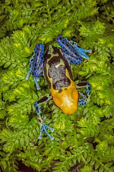 (Dendrobates tinctorius)  Dyeing poison dart frog, captive aka Brazilian yellow-head