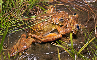 Mud Fighting males (Hypsiboas rosenbergi)