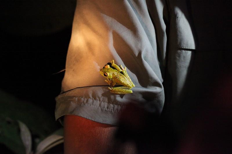 Palmer's Tree Frog, Costa Rica.