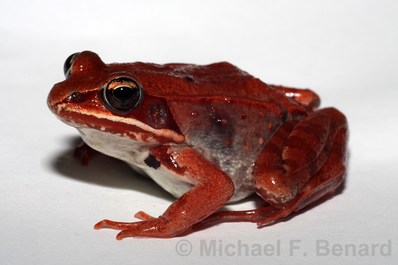 Red-Colored Female Wood Frog