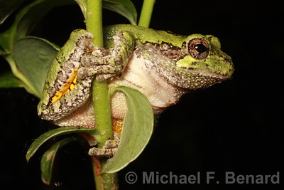 Perching Male Gray Treefrog
