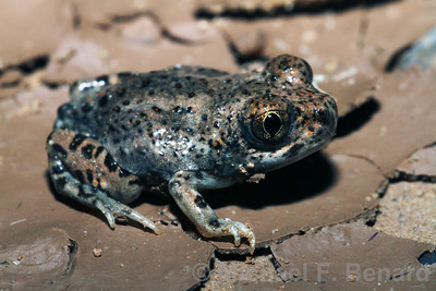 Recently Metamorphosed New Mexico Spadefoot Toad