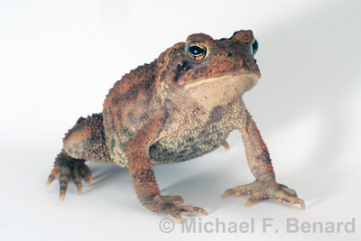 American Toad on white background
