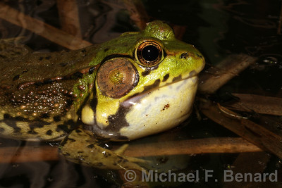 Calling Male Green Frog