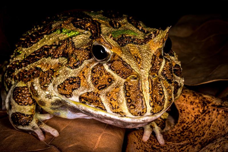 Argentine horn frog (Ceratophrys ornuta) captive