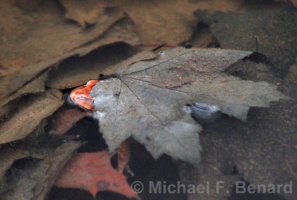Wood frog hidden under leaf in pond