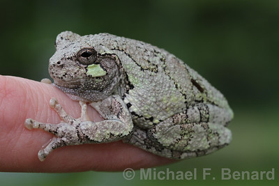 Gray Treefrog on a finger