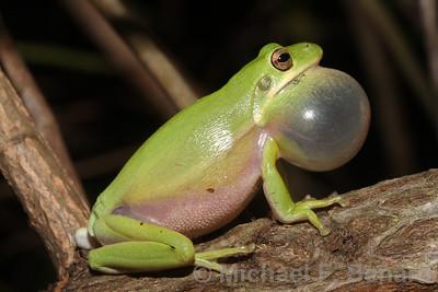 Calling Green Treefrog
