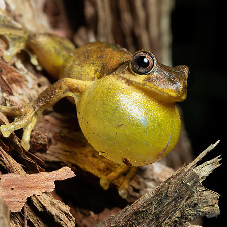 Tyler's Tree Frog