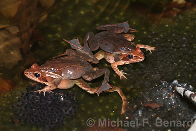 Wood Frogs in Amplexus