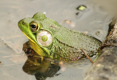 Male Green Frog with large ear