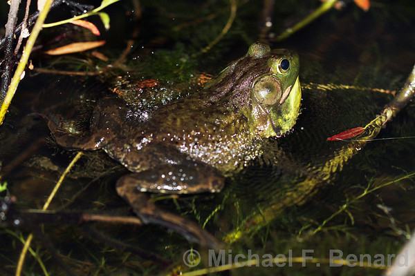 Bellowing American Bullfrog