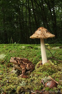 American Toad with Mushroom