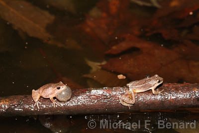 Male Spring Peeper Chases a rival.