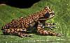 The frog prince II (Hyloscirtus princecharlesi)