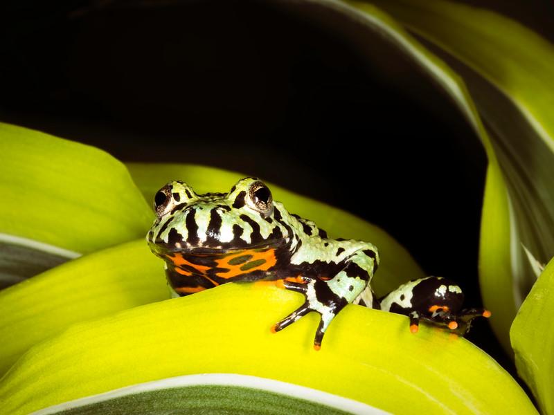 Fire belly toad (Bombina), captive