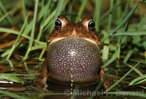 Calling American Toad