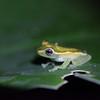 Glas frog (Costa Rica) / Lasisammakko