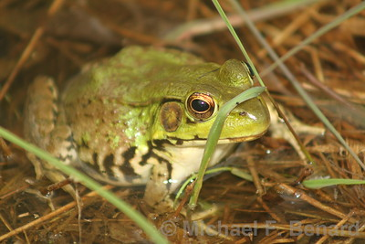 female green frog