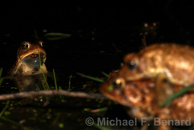 Male toad watches mating toads.