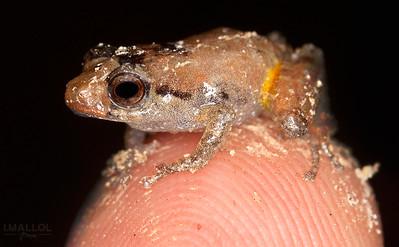 Baby frog (Pristimantis parvilus juvenile)