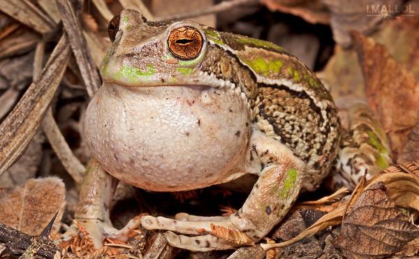 Marsupial frog male singing (Gastrotheca riobambae)