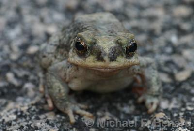 Red-Spotted Toad