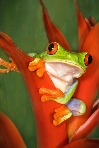 Red-Eyed Leaf (Tree) Frog (Agalychnis callidryas) captive