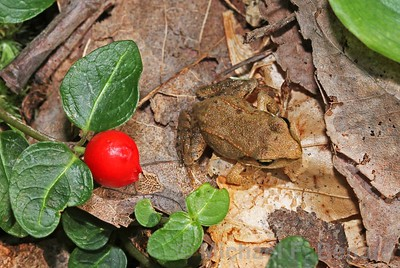 Baby Wood Frog Next To Partridge Berry