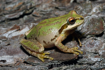 Pacific Chorus Frog with a pretty color pattern